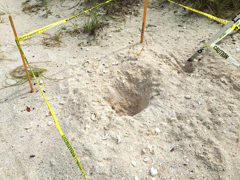 Żółwi jajka pustoszyjący na Floryda plaży fotografia stock