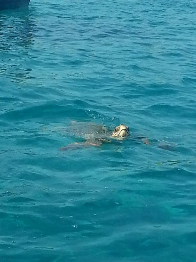 Żółwie są wewnątrz znowu fotografia royalty free