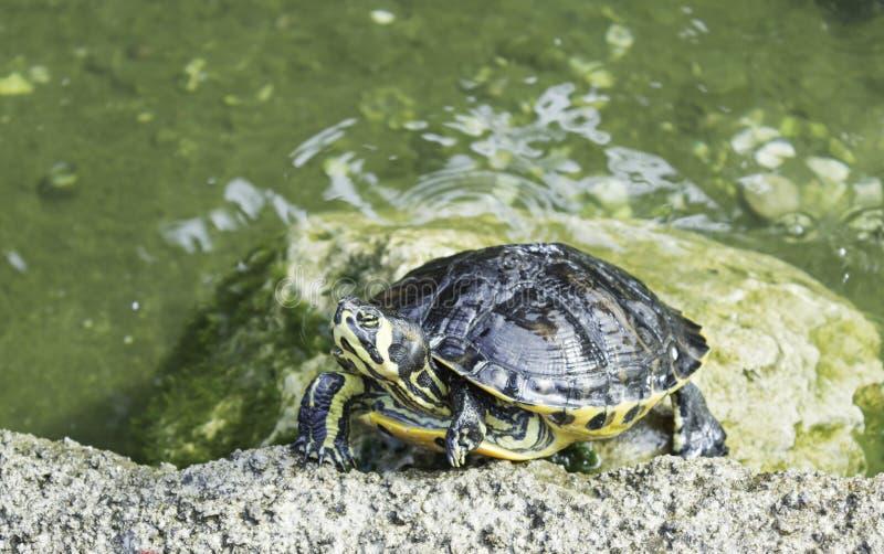 Żółwie w stawie fotografia stock