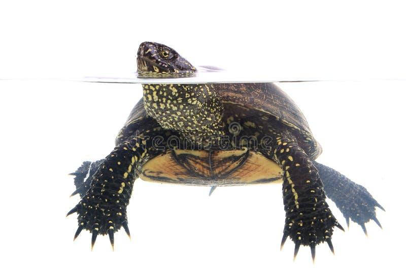 Download Żółw zdjęcie stock. Obraz złożonej z słodkowodny, yellow - 42525940