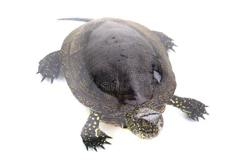 Download Żółw obraz stock. Obraz złożonej z słodkowodny, czerń - 42525957