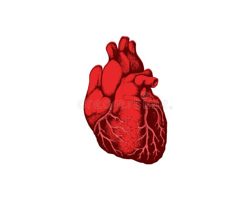 Órgão cardiovascular da opinião humana detalhada realística do close up do coração da anatomia um símbolo médico do conceito dos  ilustração royalty free