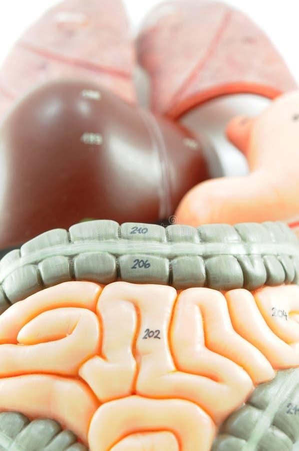 Órgão do ser humano fotografia de stock