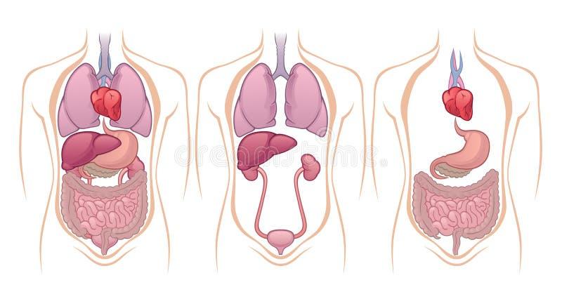Órgãos ilustração do vetor