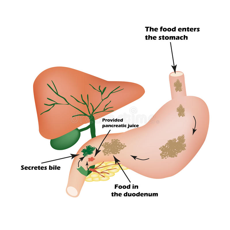 Órgãos digestivos Instrumento digestivo Bilis para digerir o alimento Isolamento do suco pancreático para o alimento do pirevariv ilustração do vetor