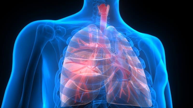 Órgãos do corpo humano (anatomia dos pulmões) ilustração stock