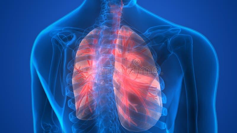 Órgãos do corpo humano (anatomia dos pulmões) ilustração do vetor