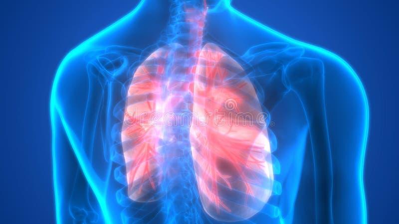 Órgãos do corpo humano (anatomia dos pulmões) ilustração royalty free