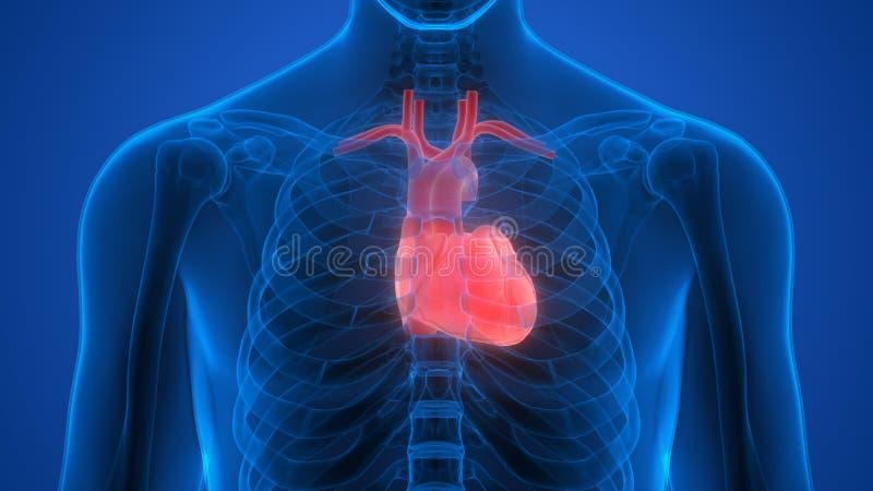 Órgãos do corpo humano (coração) ilustração royalty free