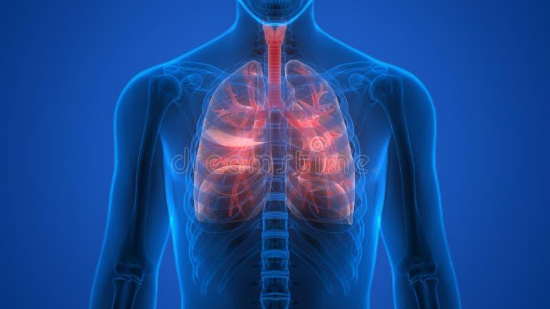 Órgãos do corpo humano (pulmões) ilustração stock