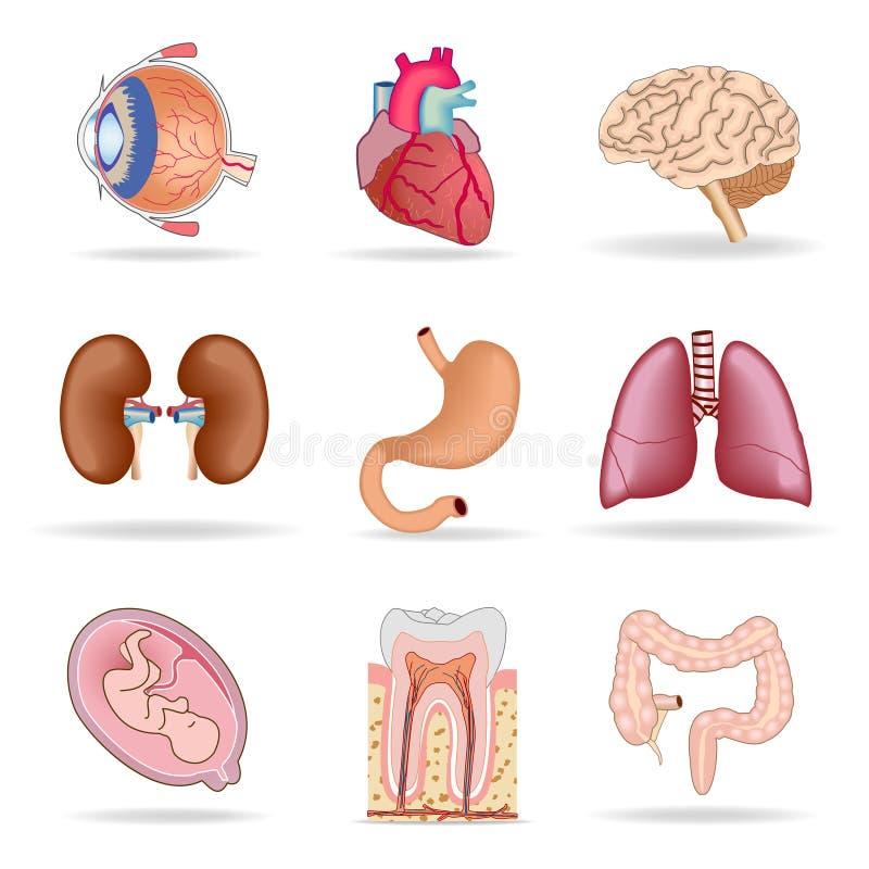 Órgãos humanos ilustração stock