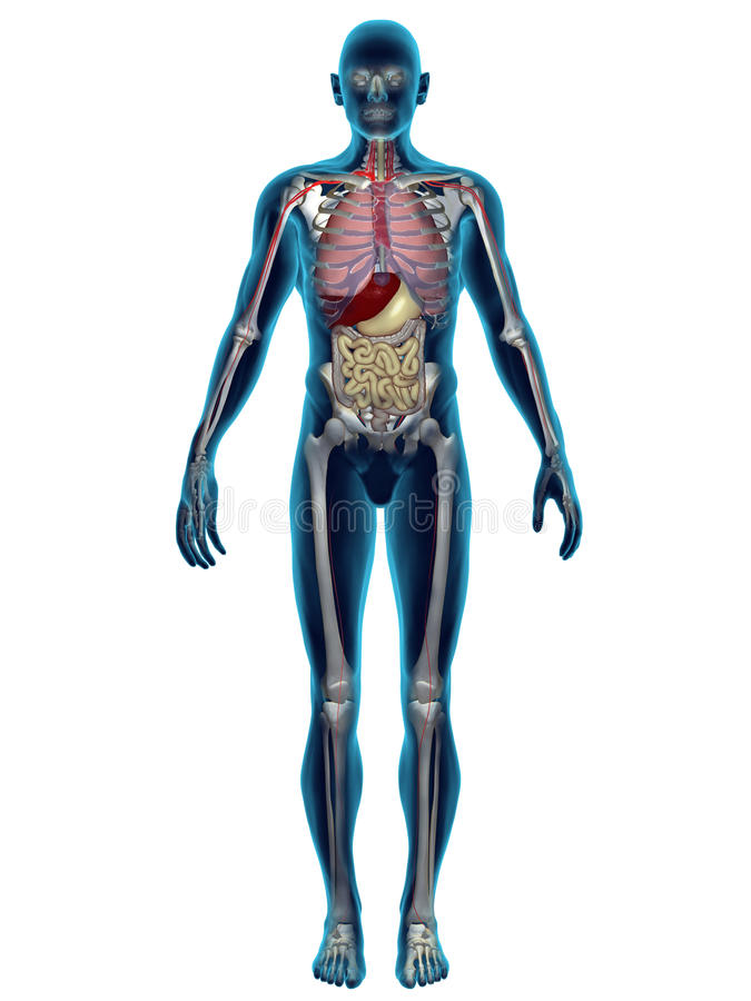 Órgãos humanos 3D ilustração royalty free