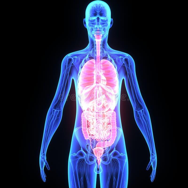 Órgãos humanos ilustração do vetor