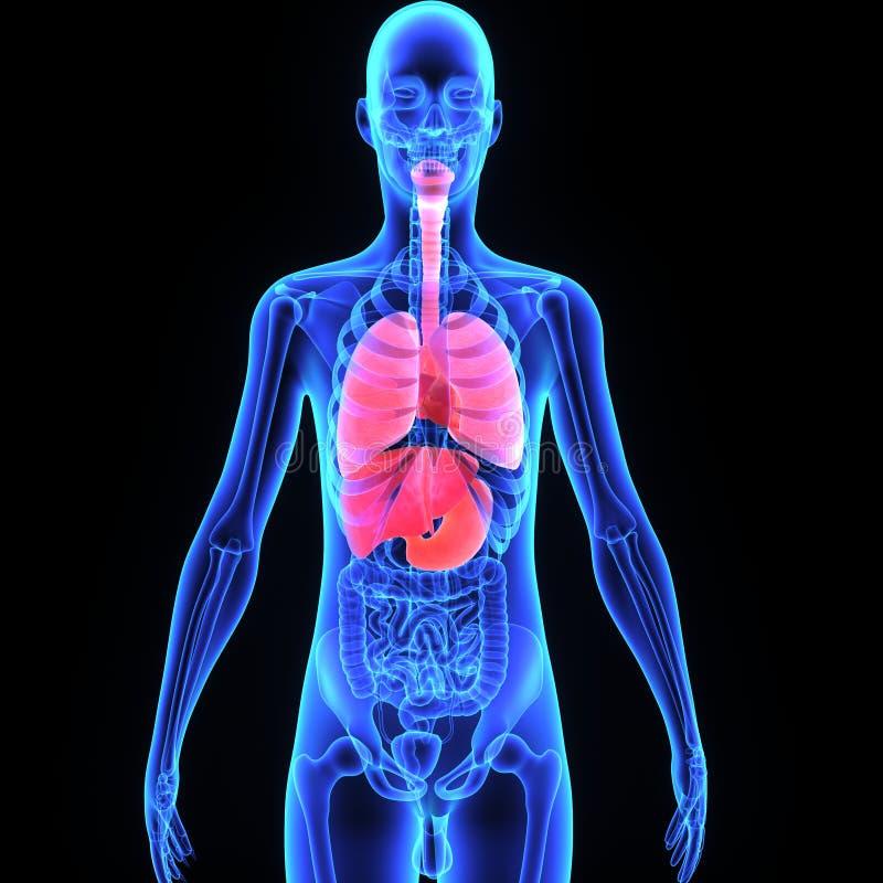 Órgãos humanos ilustração royalty free