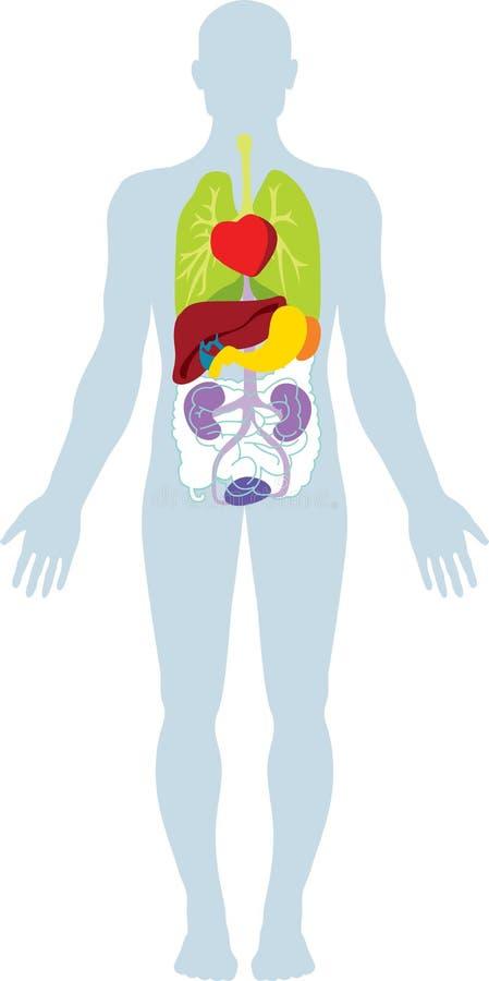 Órgãos humanos fotografia de stock