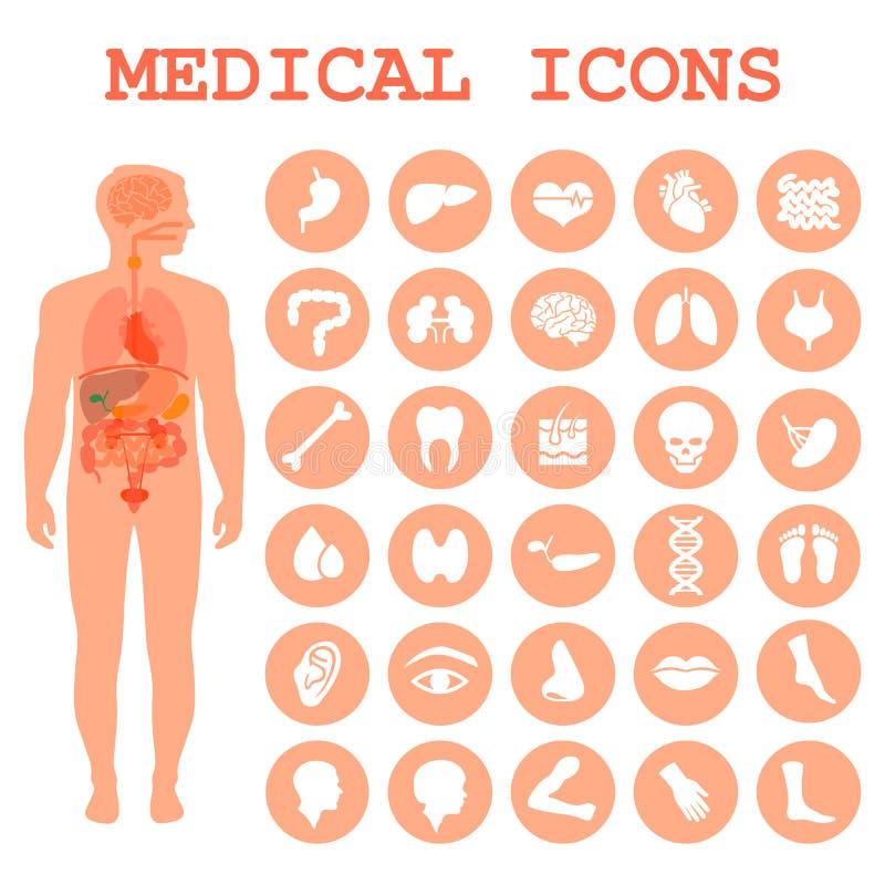 órgãos humanos, anatomia do corpo ilustração stock