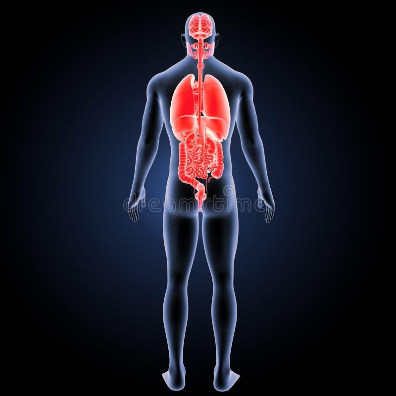 Órgãos humanos com opinião do traseiro do corpo ilustração do vetor