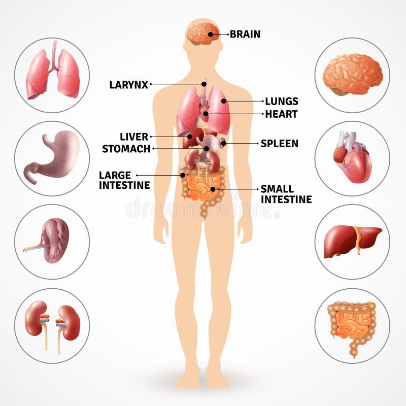 Órgãos humanos da anatomia ilustração stock