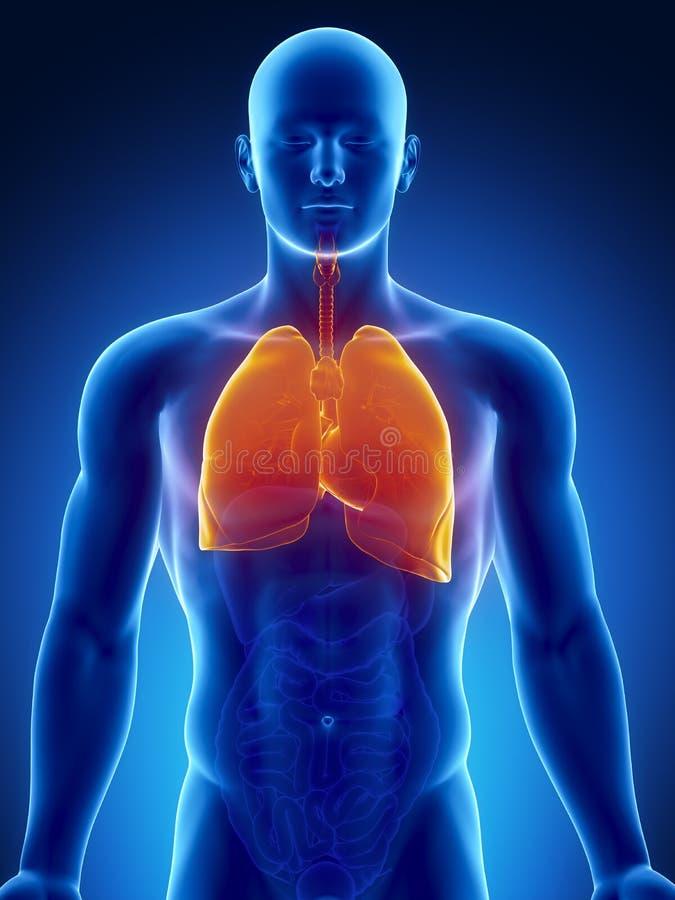 Órgãos humanos do tórax com pulmões e coração ilustração stock