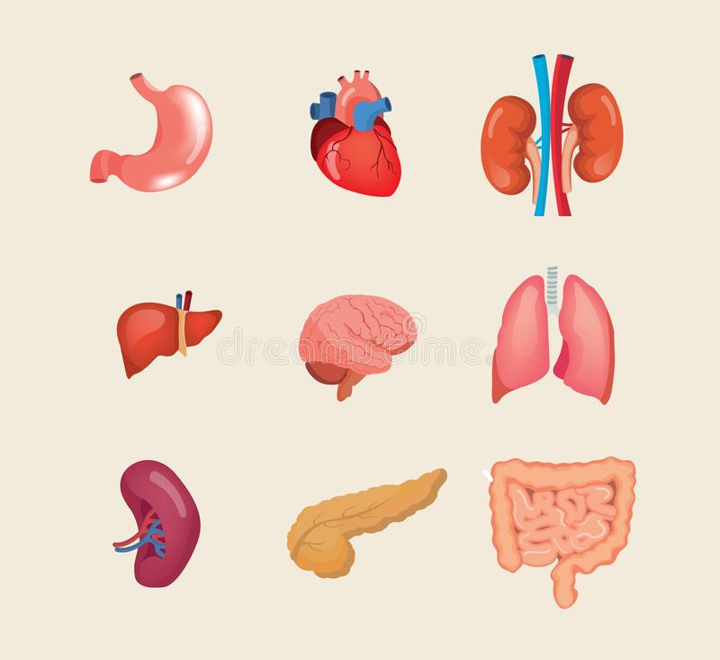 Órgãos humanos realísticos ajustados O corpo da anatomia, biologia, estrutura os órgãos internos ilustração do vetor