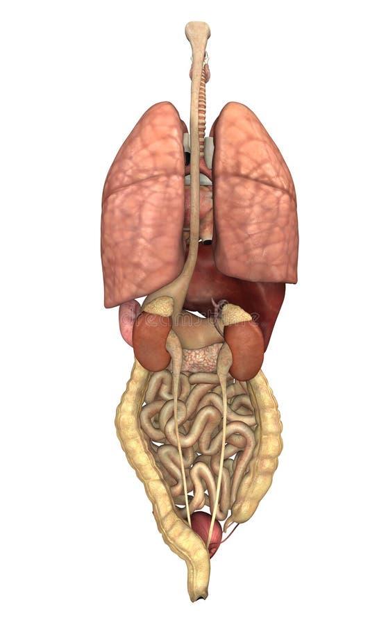 Órgãos internos de atrás ilustração do vetor