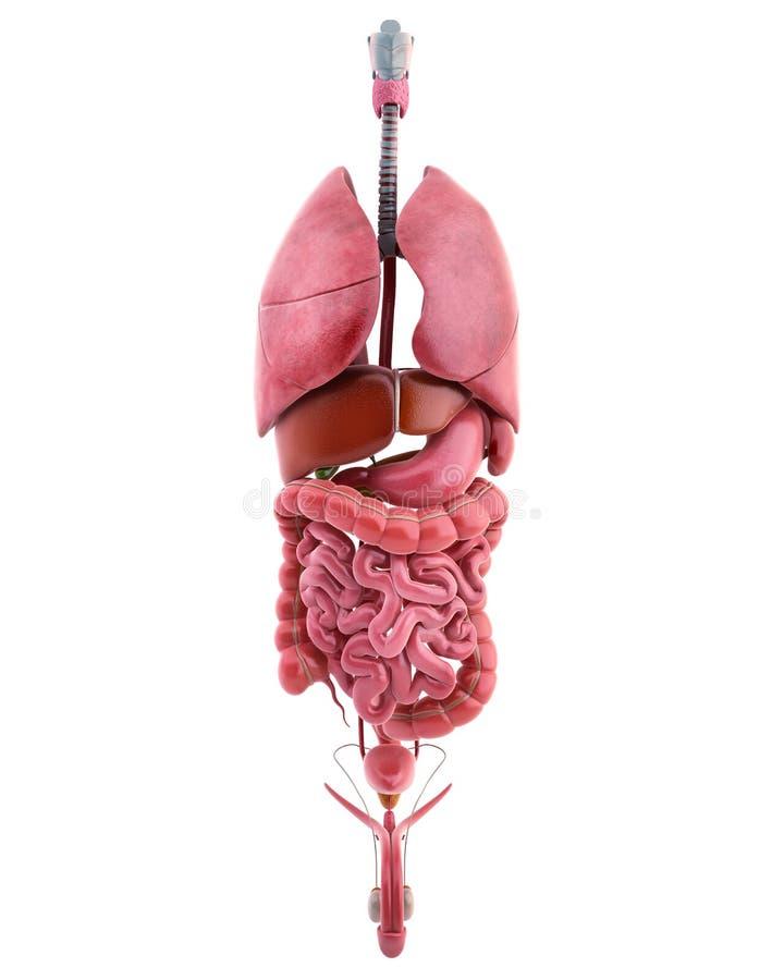 Órgãos internos do corpo masculino ilustração royalty free
