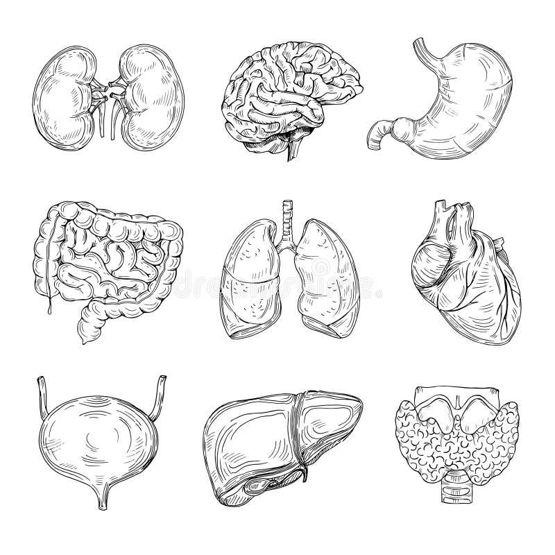Órgãos internos humanos Entregue o cérebro, coração e rins, estômago e bexiga tirados Vetor isolado médico do esboço ilustração royalty free