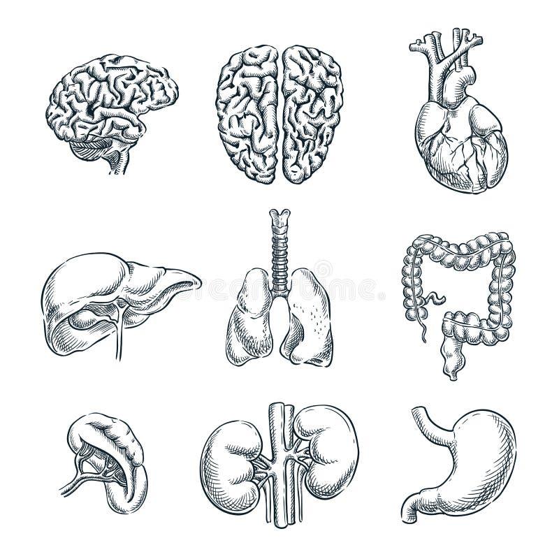 Órgãos internos humanos Ilustração isolada esboço do vetor Grupo de símbolos tirado mão da anatomia da garatuja ilustração royalty free