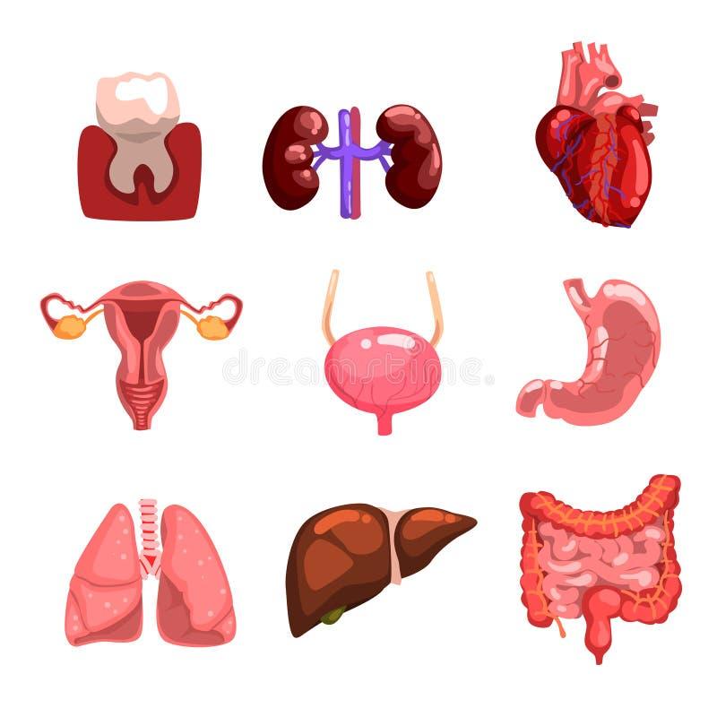 Órgãos internos humanos pavimento, dente, coração, bexiga, rins, pulmões, fígado, intestinos, estômago, sistema reprodutivo ilustração stock