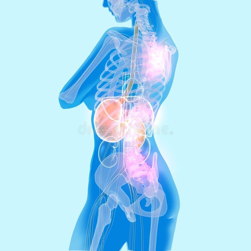 órgãos internos transparentes luminosos da ilustração 3D fotos de stock