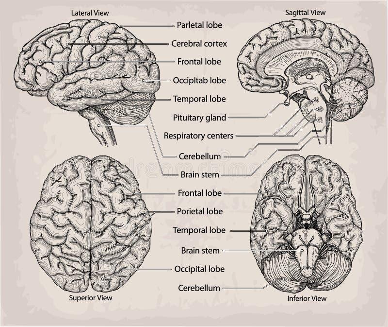 Órgano anatómico del cerebro Medicina, cartel del ejemplo del vector  stock de ilustración