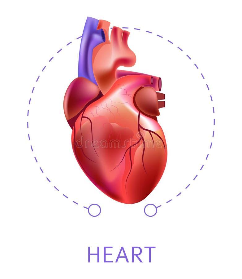 Órgano interno aislado corazón del sistema cardiovescular del icono ilustración del vector
