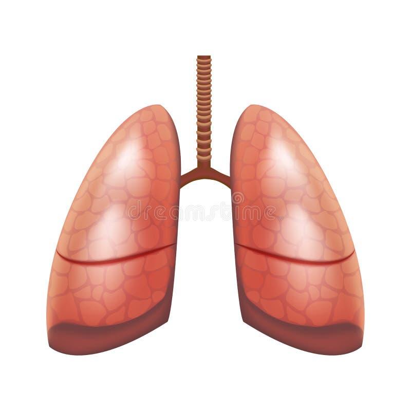 Órgano interno de los pulmones humanos detallados realistas 3d Vector ilustración del vector