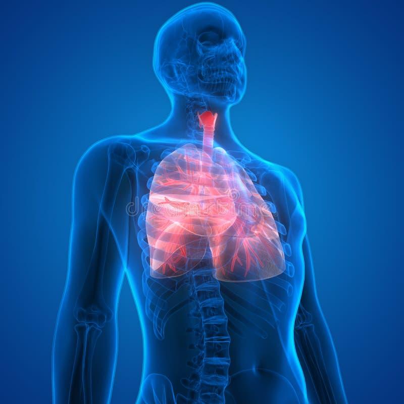 Órganos Del Cuerpo Humano (anatomía De Los Pulmones) Stock de ...
