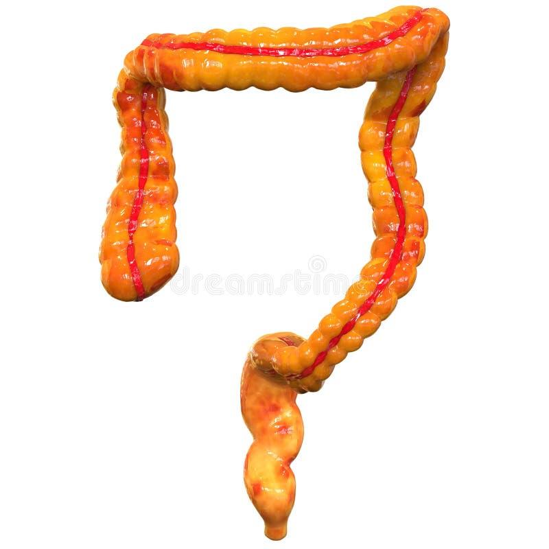 Órganos Del Cuerpo Humano (intestino Grueso) Stock de ilustración ...