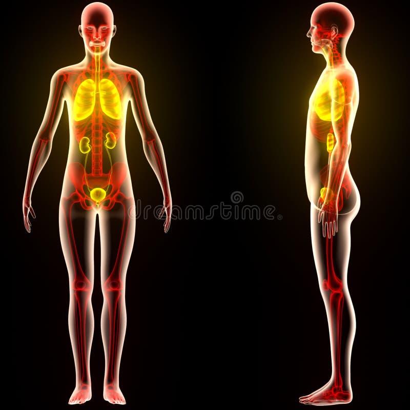 Órganos Del Cuerpo Humano (pulmones Con Los Riñones) Stock de ...