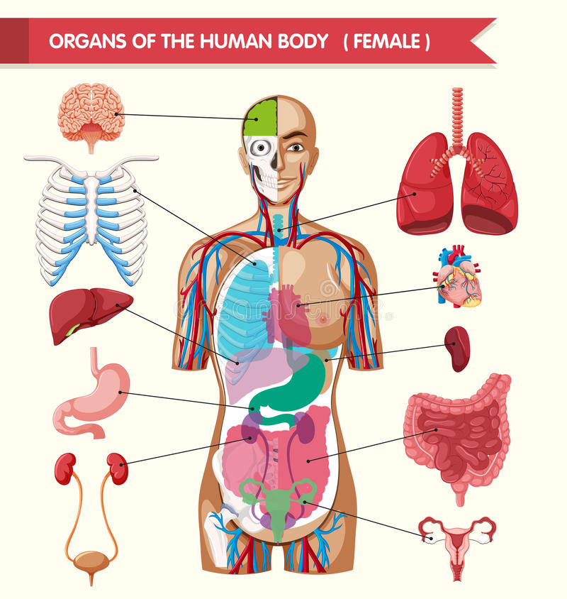 Órganos del diagrama del cuerpo humano libre illustration