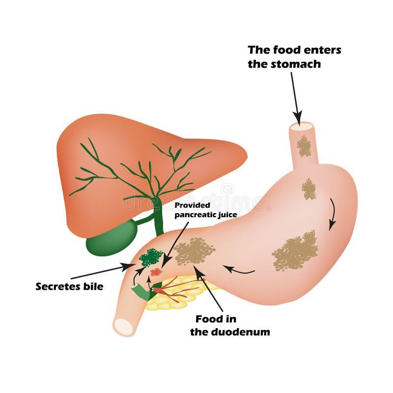 Órganos digestivos Aparato digestivo Bilis para digerir la comida Aislamiento del jugo pancreático para la comida del pirevarivan ilustración del vector
