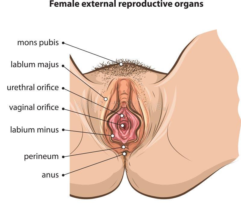Órganos femeninos ilustración del vector. Ilustración de hembra ...