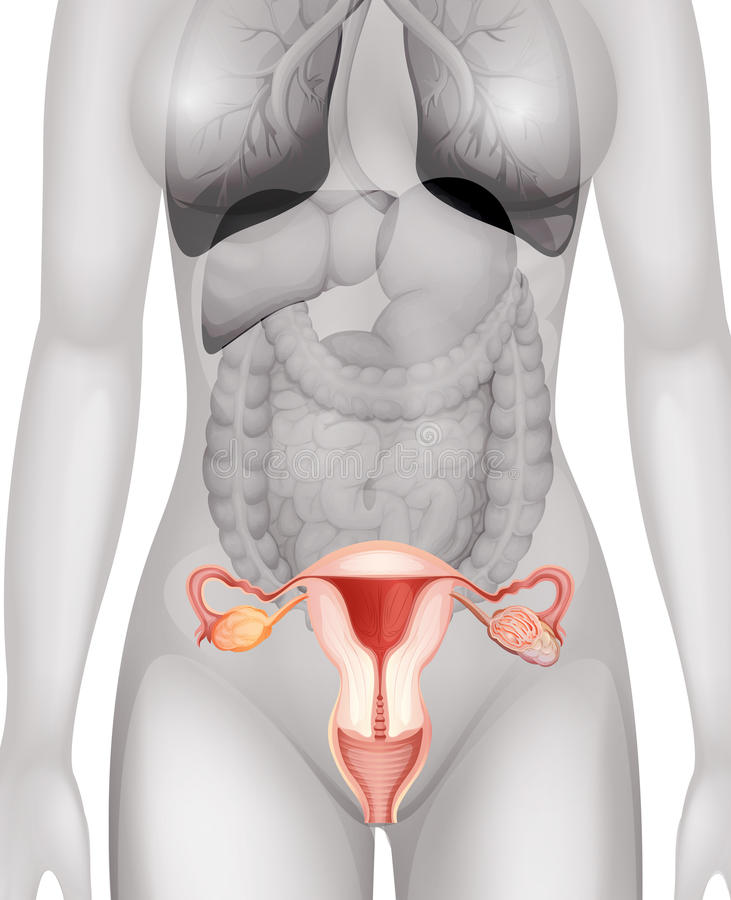 Órganos Genitales Femeninos En Cuerpo Humano Ilustración del Vector ...