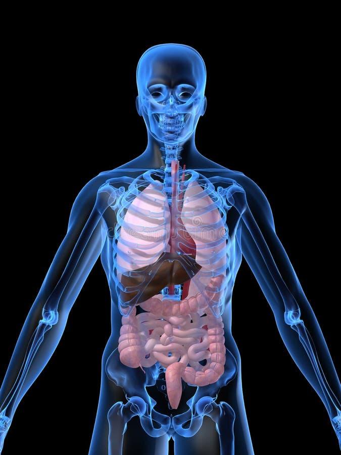 Órganos humanos stock de ilustración. Ilustración de backbone - 2719678