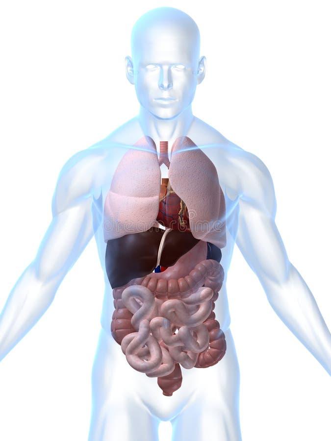 Órganos humanos ilustración del vector