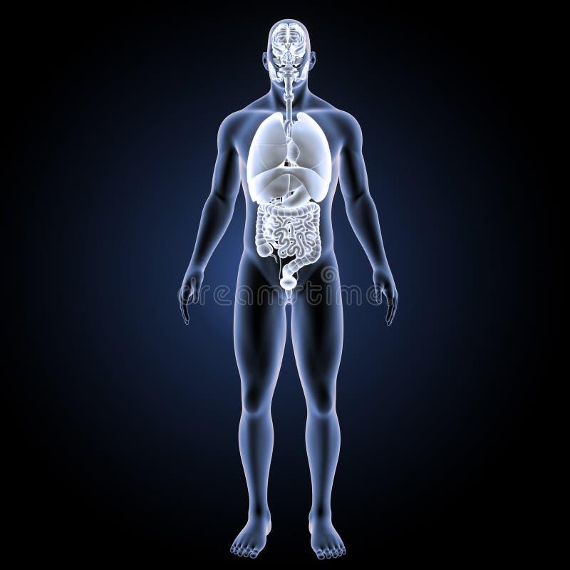 Órganos Humanos Con La Opinión Anterior Del Cuerpo Stock de ...