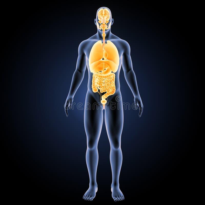 Órganos humanos con la opinión anterior del cuerpo stock de ilustración