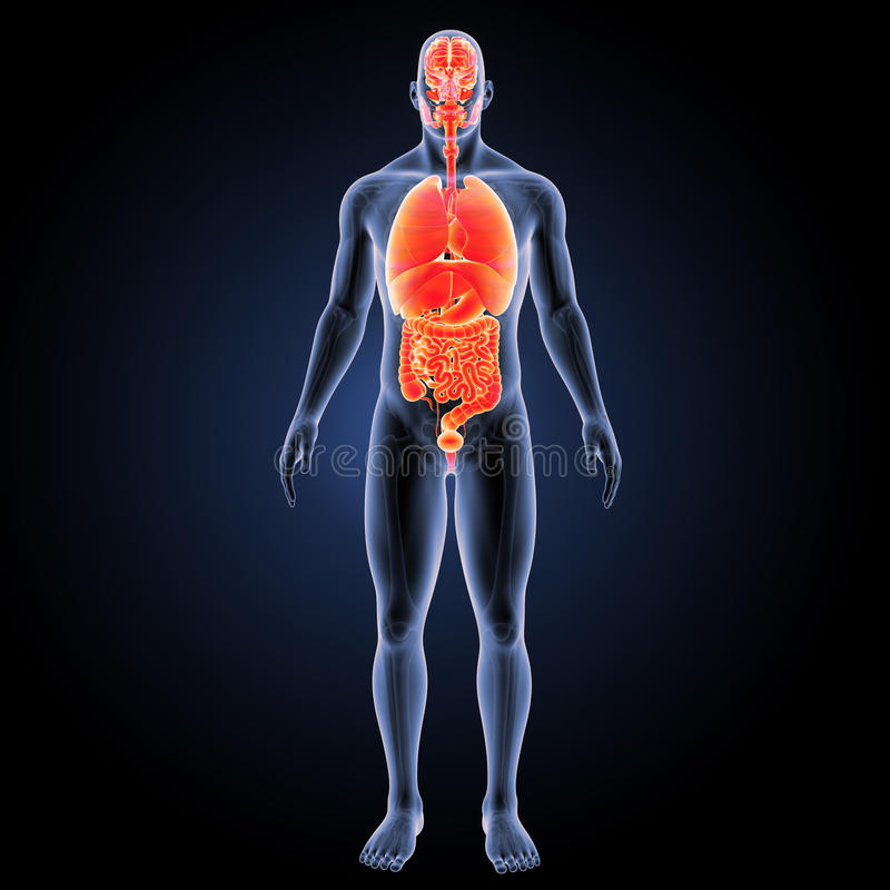 Órganos humanos con la visión anterior esquelética stock de ilustración