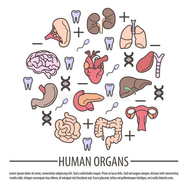 Órganos humanos con las piezas de la DNA, factor derecho y dientes ilustración del vector