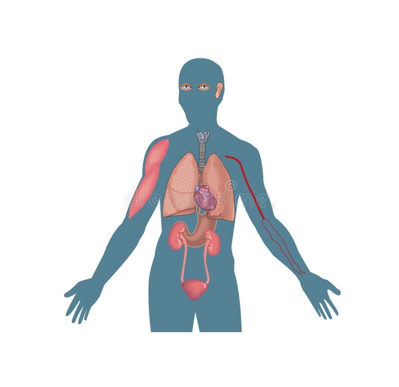Órganos humanos, corazón, sangre, pulmones fotografía de archivo