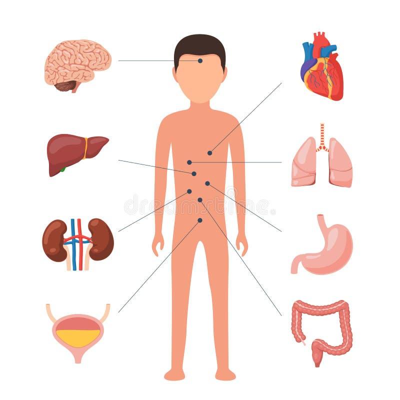 Magnífico Diagrama De Los órganos En El Cuerpo Patrón - Anatomía de ...