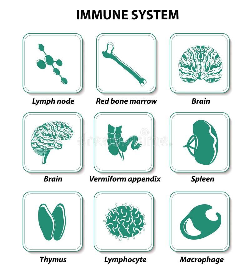 Órganos humanos internos Sistema inmune ilustración del vector