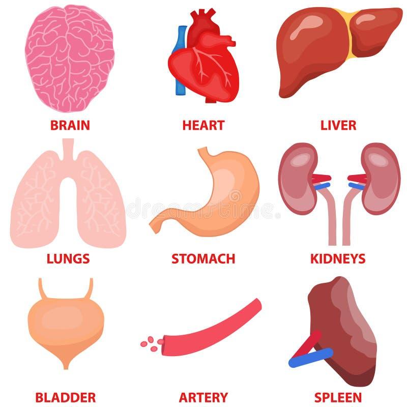 Órganos Humanos, Un Sistema De órganos Internos Del Hombre Stock de ...